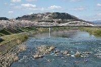 線路に沿って、延々と桜並木が続きます。