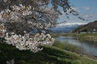 桜並木の向こうには蔵王の山々が...。