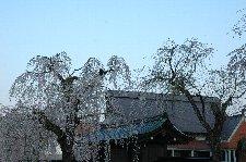 しだれ桜は線が細いので、バックに絵になる建物があると助かります。