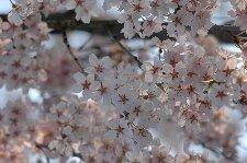 駐車場の桜は日当たり良く、どれも満開でした。