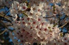日当たりも良く、8分咲きくらい。花見には丁度良いです。 撮影日:2007/04/29