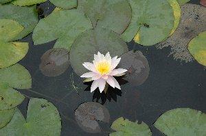 蓮の花が綺麗と思える機会、実は滅多にない(笑)。