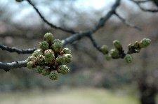 この年は桜の開花が遅く、4月20日でも蕾は固かった。