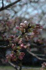 負け惜しみですが、この頃の桜も大好きです(笑)。