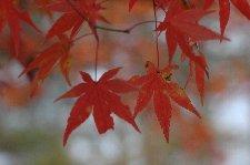 ピークは過ぎてますが、紅く染まった葉は目に止まります。