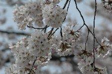保育所入口の坂にある桜が、園児達を迎えます。