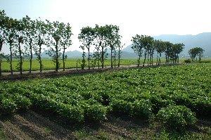 広い水田地帯の中に、水田に区画に沿う形で低い木が並んでいます。