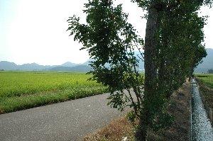 はさ木が作り出す木陰。うちが訪ねたのは暑い季節でしたが、はさ木の回りは多少心地よい風が流れていた。
