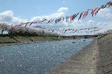 川沿いの桜並木、川を跨いで泳ぐ鯉のぼりの対比が見事