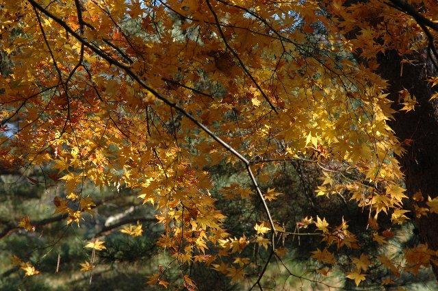 山全体の色付きを楽しむ感じで、個々の木で目立つものは少なかった。