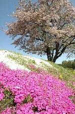 足元を彩る芝桜が見事です。