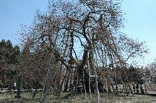 枝ぶり、木の大きさと樹齢1300年を感じられる素晴らしい古木でした。