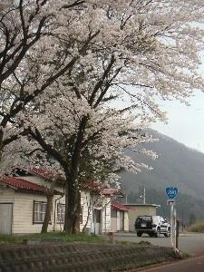 国道サイン(おにぎり)と駅と桜のコラボ、ありそうでなかなか出会えない風景です。