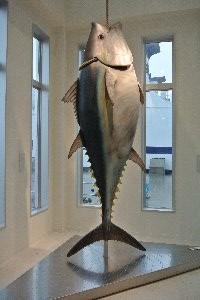 大間と言えばやはりマグロの一本釣りですな。
