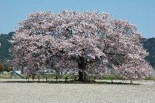 校庭のど真ん中に鎮座する桜の巨木、運動会はどうやってるんやろ(笑)。