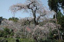 あと3日遅ければ、満開の桜を楽しめたろうになぁ...。