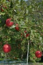 果樹園の奥の方まで続く、赤い果実。りんごの実がこんなに綺麗に見えたのは初めて。