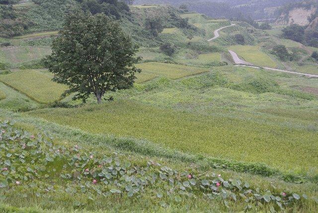 天気が悪くて残念だったが、刈り取り前の美しい水田風景を楽しめた。