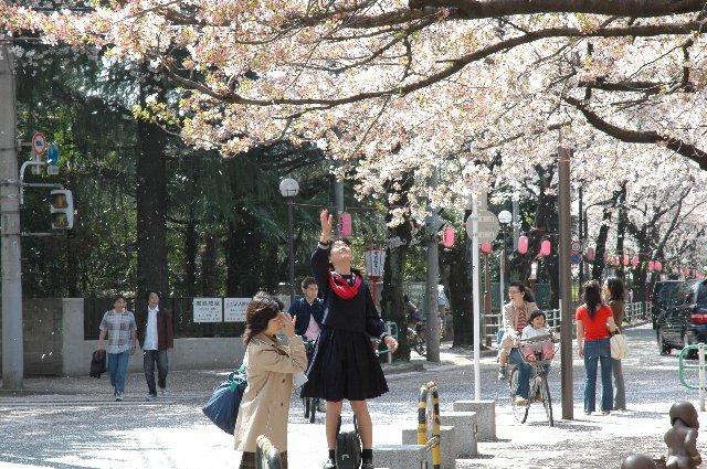 町じゅうで桜吹雪が舞って、それはそれは美しい光景。桜の木に手を伸ばす女の子が絵になってます。
