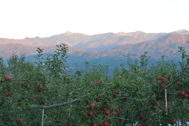 手に届く場所にりんごがたわわに実っている景色、さすがは長野県といった感じです。
