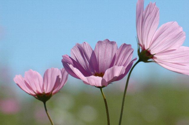 今年は開花が遅いのか、見頃はもう少し後になる見込みです。