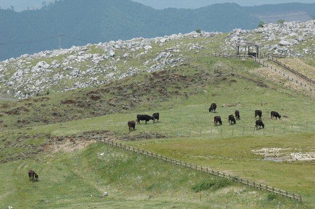 石灰岩が隆起した草地に牛を放牧している。