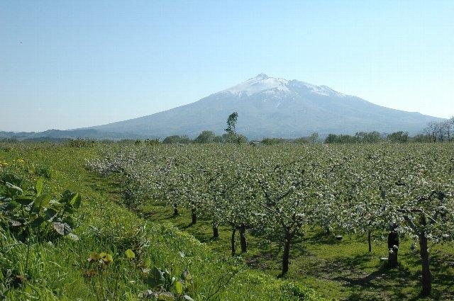 土手の向こうは川かと思いきや、りんご畑の向こうに岩木山の優美な姿が!