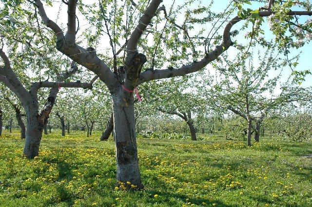 果樹園の地面を彩るたんぽぽの黄色い花、津軽のあちこちで見かけました。