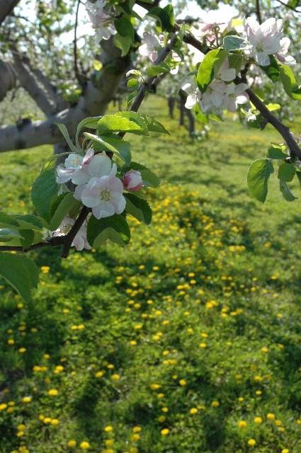 りんごの花をアップにしてみました。