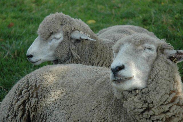羊にとっては、この暑さは堪らないらしい...。