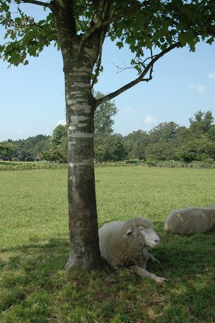 赤い屋根の羊舎、広い牧草地、木陰の羊...絵になります。